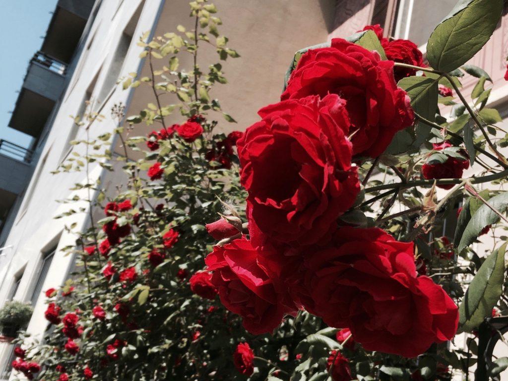 mailand rosen blumen