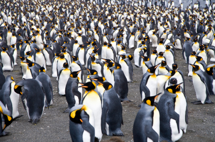 Emperor Penguins live communally and share resources. body heat and activities to survive in the harsh climate of Antarctica. What can we learn from the Penguins?