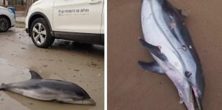 Delfines encontrados muertos en las costas valencianas tras el paso de la borrasca.