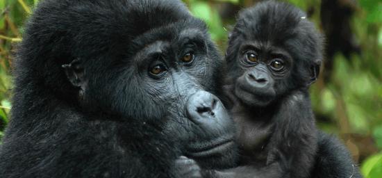 1-day-Rwanda-Gorilla-trekking-safari