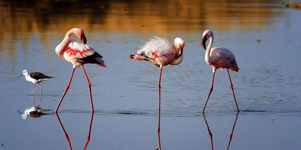 Lake Ndutu Flamingos