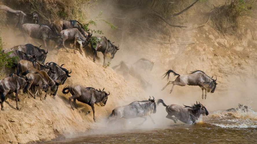 wildebeests-crossing-mara-river-serengeti-national-park-1920x1080