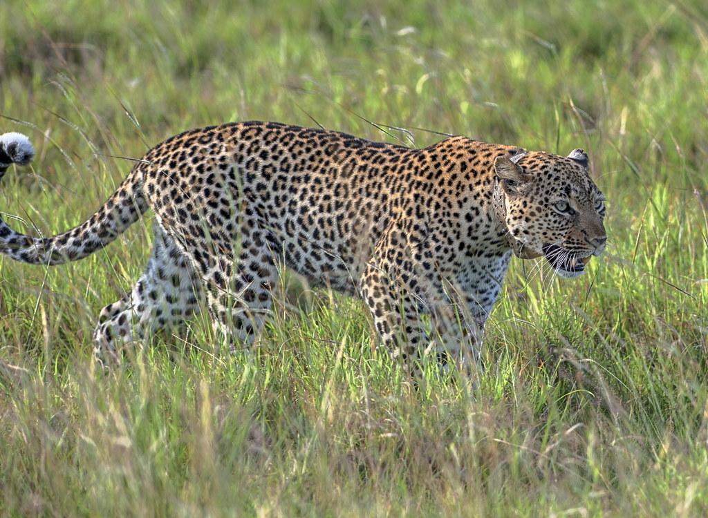 Leopard-in-Ugandas-Murchison-Falls-National-Park