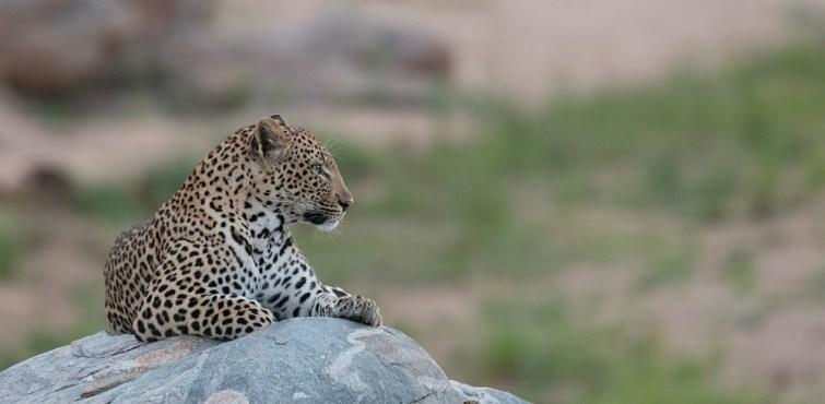 female-leopard-on-rock
