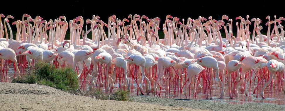 flamingose