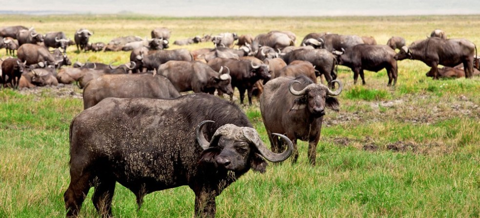 ngorongoro-buffalo (2)