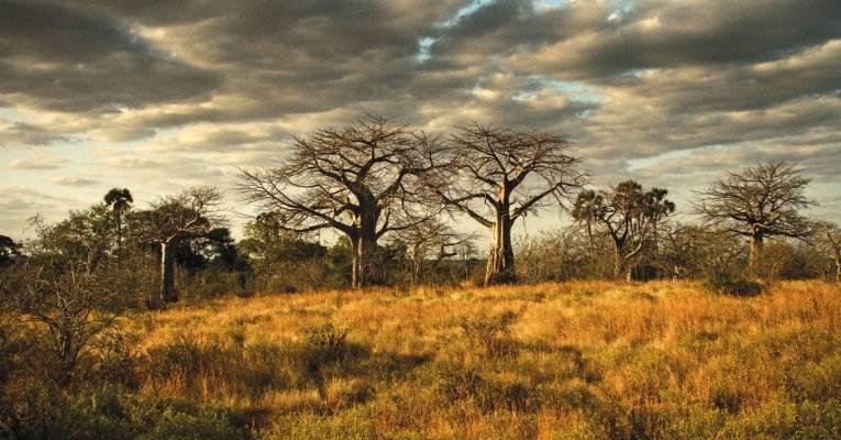 Baobab Trees Ruaha National Park