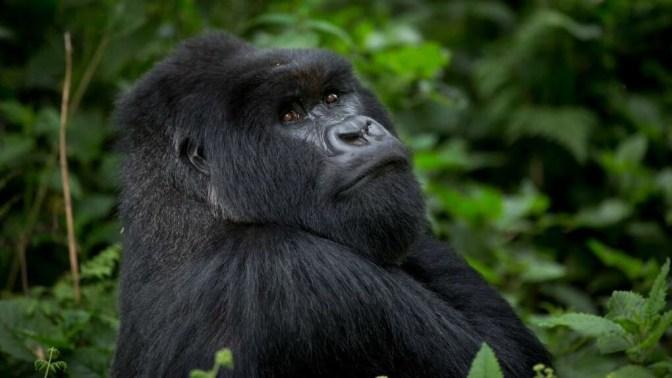 Gorilla Uganda 1