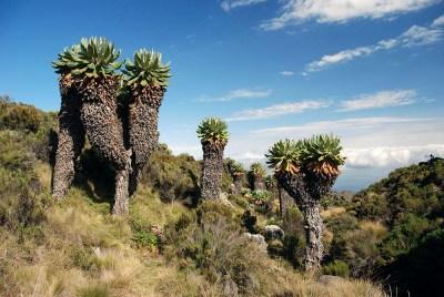 3377350 - trees on the mount kilimanjaro in tanzania