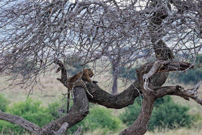 Leopard on top o a tree Serengeti National Park