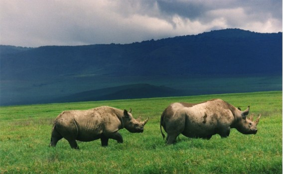 Black-Rhinos-Ngorongoro.jpg
