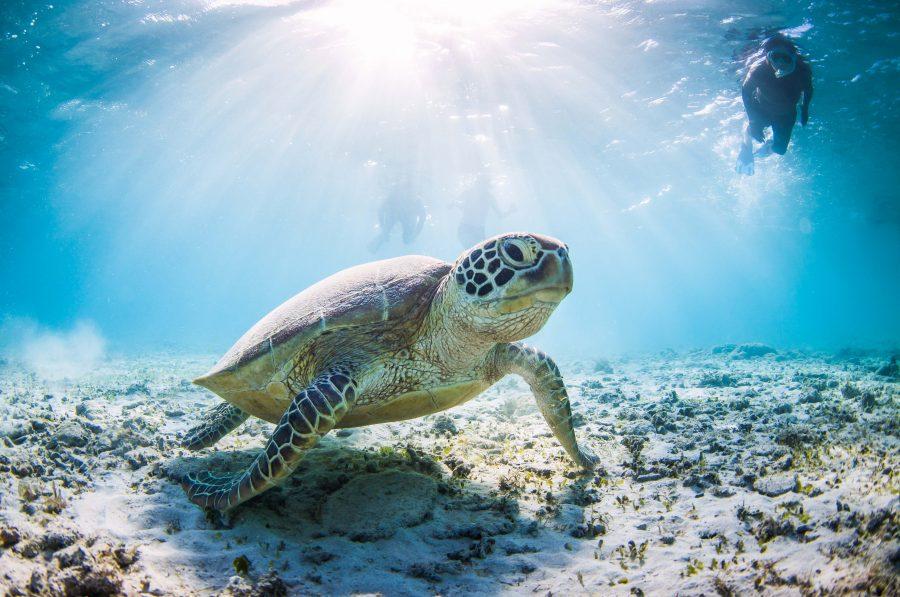 Zanzibar Sea Turtle