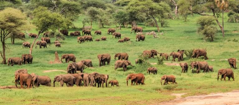 Elephant Herds in Tarangire National Park