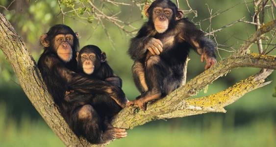 chimps-of-Bwindi-National-Park.jpg