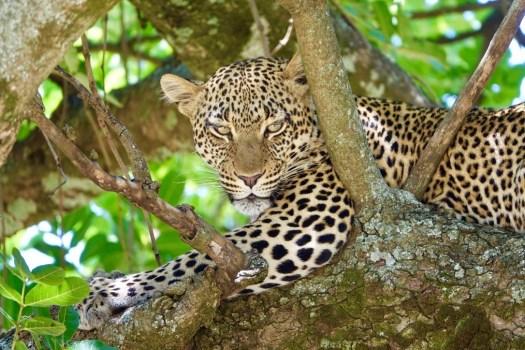 leopard-2.jpg