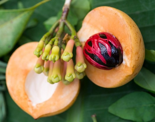 nutmeg and mace two spices fromthe same fruit