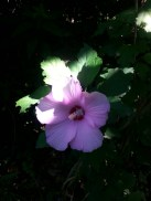 """Hibiscus or """"Rose of Sharon"""" right at the beginning of the trail"""