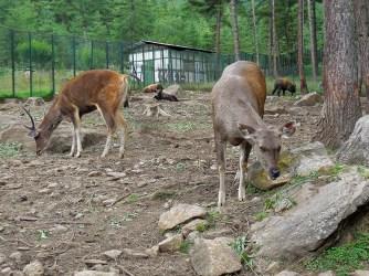 Bhutanese sambar deer