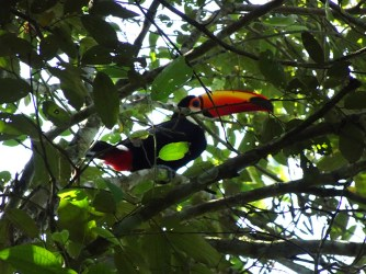 The toucan we spotted in the treetops