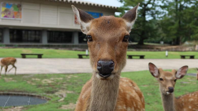 小鹿が生まれる時期は5月中旬~7月。今は9月上旬。