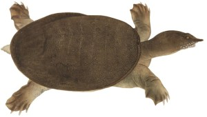 すっぽん Pelodiscus sinensis