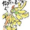レンギョウとともに桜を仰ぐ。--アキラさんの絵手紙2016