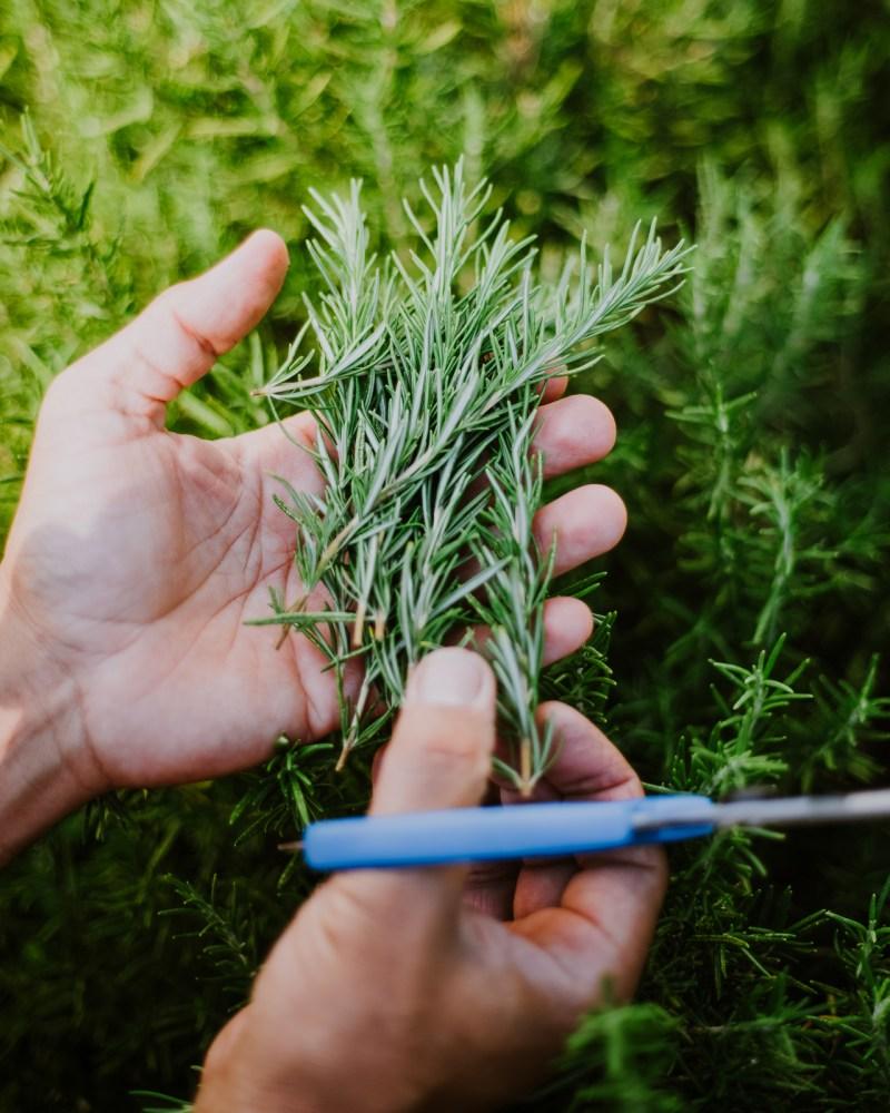 Garden - Rosemary 1