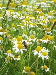 カモミールとミツバチ