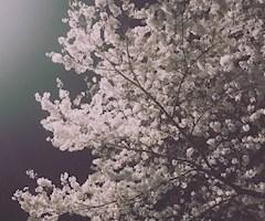 池袋キャバクラはちみつくろーばー みしぇる 夜桜