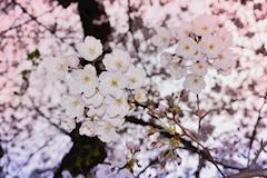 池袋キャバクラはちみつくろーばー あめ 桜