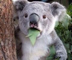 池袋JK制服キャバクラ【はちみつくろーばー】かなた コアラ