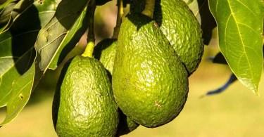 Уникальный плод - авокадо