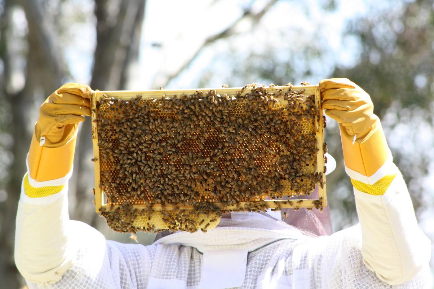Bees on langstroth frame