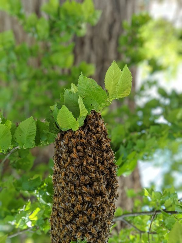 Close up of a bee swarm in a tree