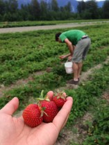 Picking strawberries! Housed over a pound in 2 days.