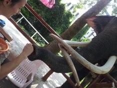 Sylvie von Duuglas-Ittu - Elephant Feeding - Chiang Mai Zoo