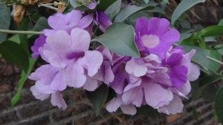 Purple Flowers - Chiang Mai Thailand