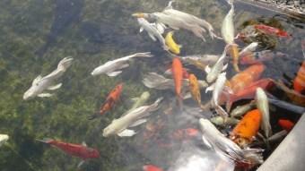 Koi Fish Wat Rong Khun The White Temple