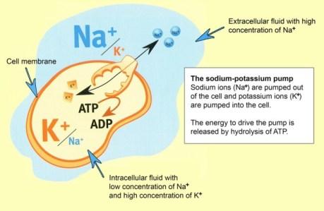 sodium-potassium-pump1