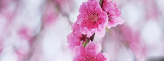 Plum_blossoms