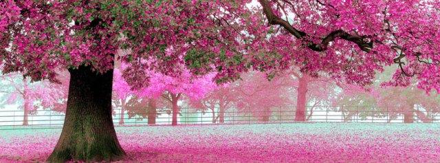 cherry_blossom_facebook_cov