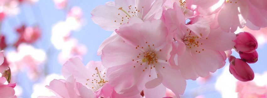 flowers-cherry-blossoms-3-f