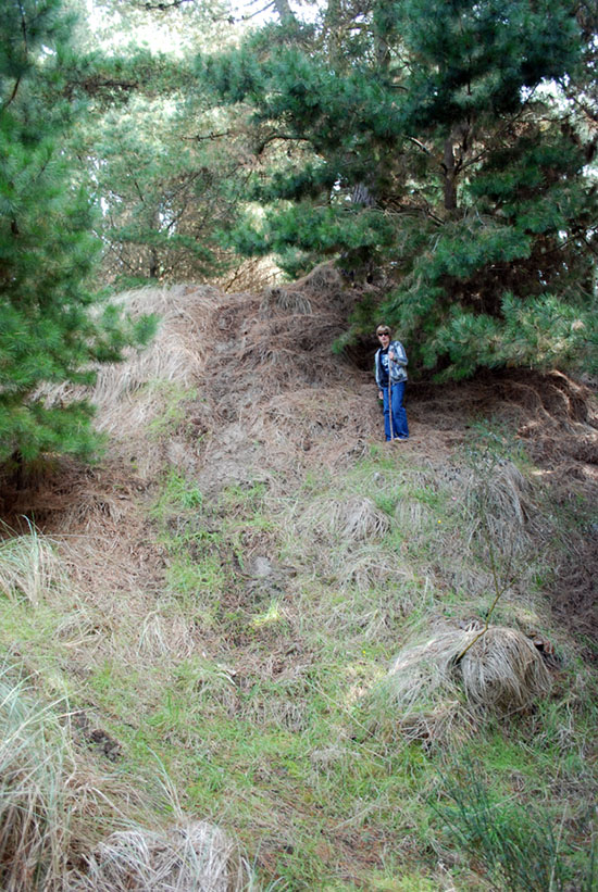 Fig. 2: Radiata pine creates artificially steep dunes prone to undercutting and rapid erosion during storm surges. (Image: Whitelaw)