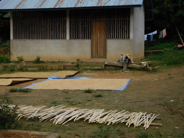 The rice being dried after harvesting
