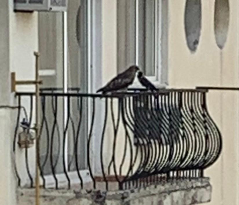 birds - kite