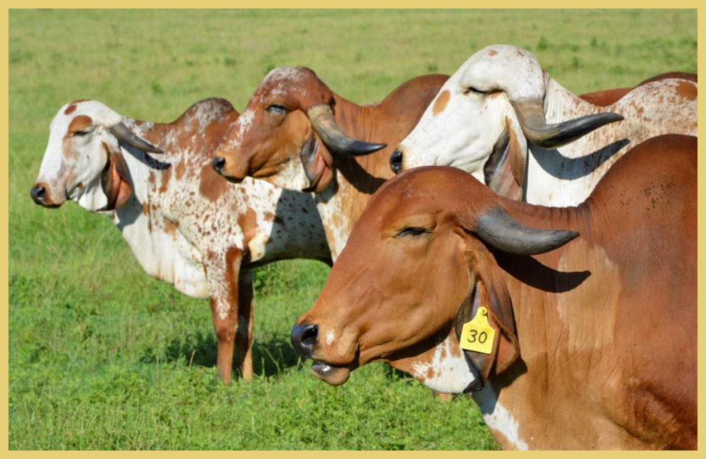 Americans Cows Indian