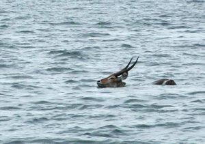 flood animal swimming stranded