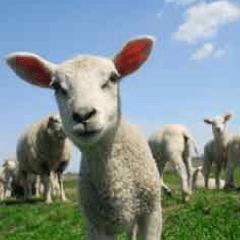 imagen oveja 94