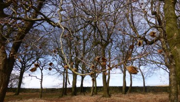 winter beech branches