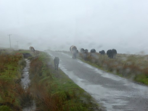 wet cows on wet road